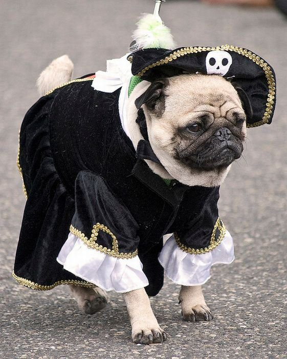 1295298142_pug_pirates_01
