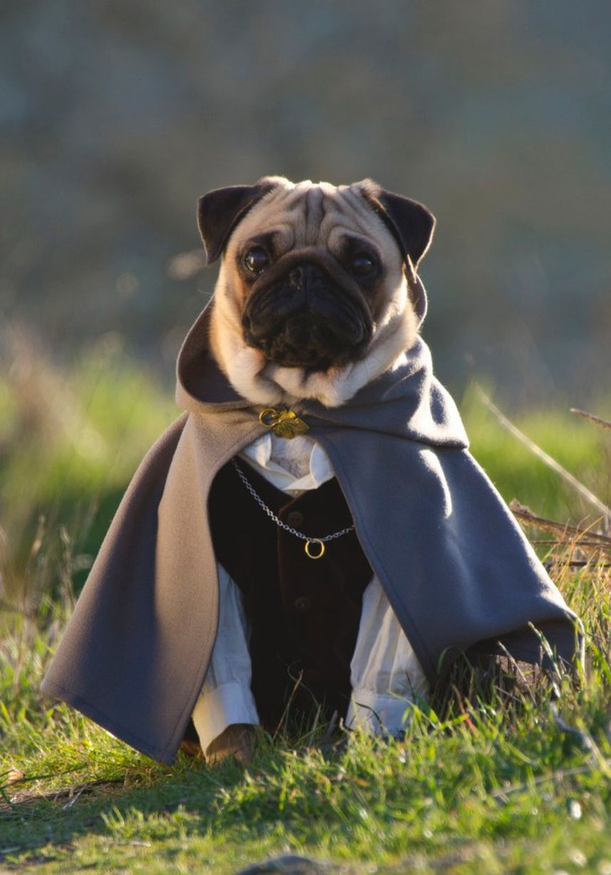 fancy-dress-pugs_pixanews-8
