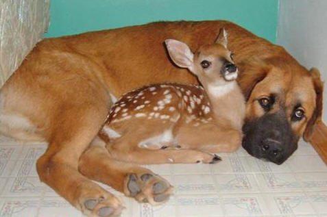 largedog-fawn