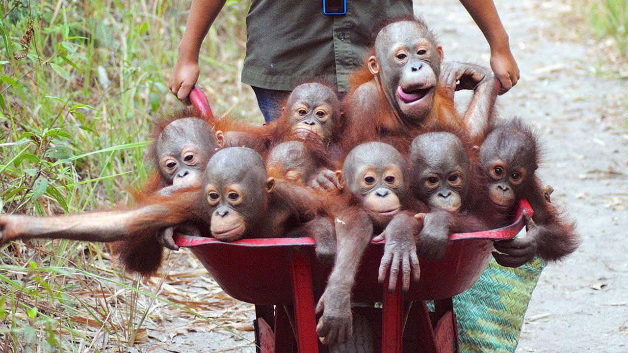 rescuing-orangutan-babies