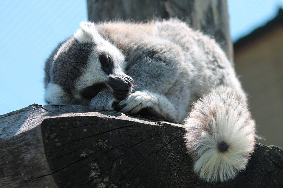 lemur-347543_960_720