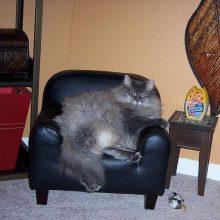 Толстые коты. (11 фото)