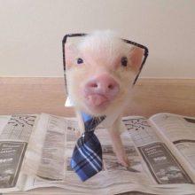 Прикольные картинки про свиней (21 фото)