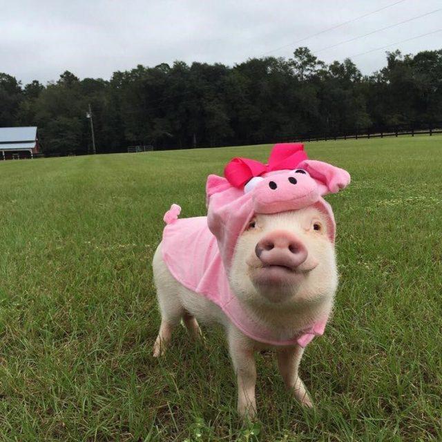 прикольные картинки со свиньями дайнеко выбрала