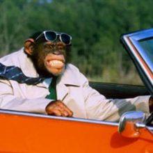 Животные за рулем автомобилей. (11 фото)