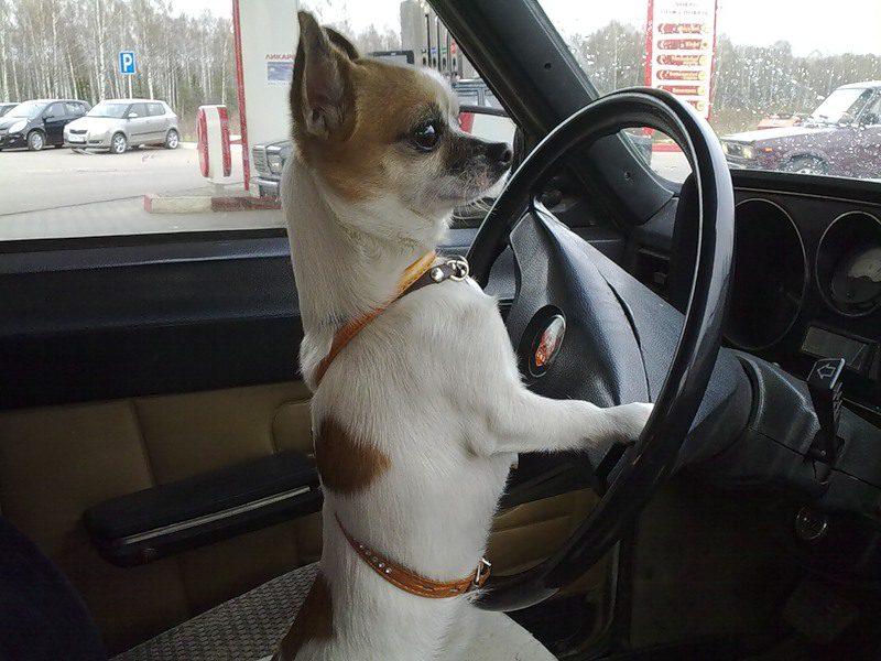 собака за рулем картинки смешные последний год