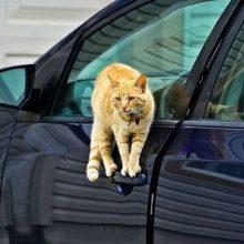Животные в машинах. (12 фото)