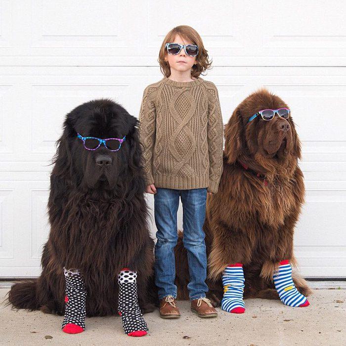 Ньюфаундленды в очках и носках.