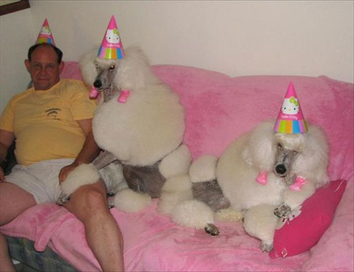 Пудели на Дне рождения у хозяина.