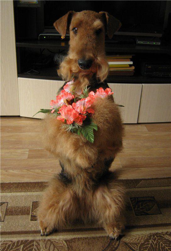 Эрдельтер дарит цветы.