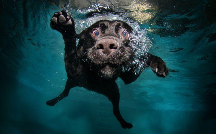 Лабрадор ныряет в воду.