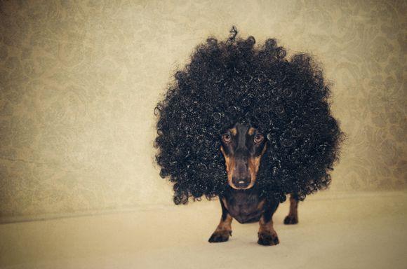 Такса в большом кудряво парике.
