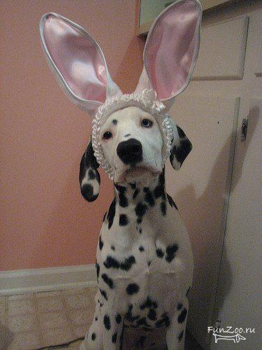 Далматинец в костюме кролика.