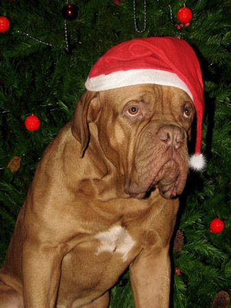Мастиф подготовился к Новому году.