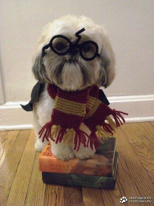 Ши-тцу в роли Гари Поттера.