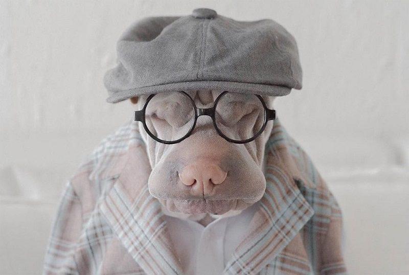 Шарпей в кепке и в очках.