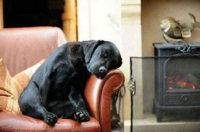 Лабрадор отдыхает в кресле у камина.