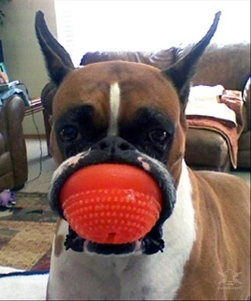 Боксер съел мячик.