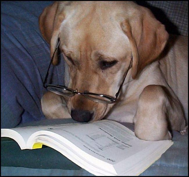 Лабрадор  в очках читает книгу.