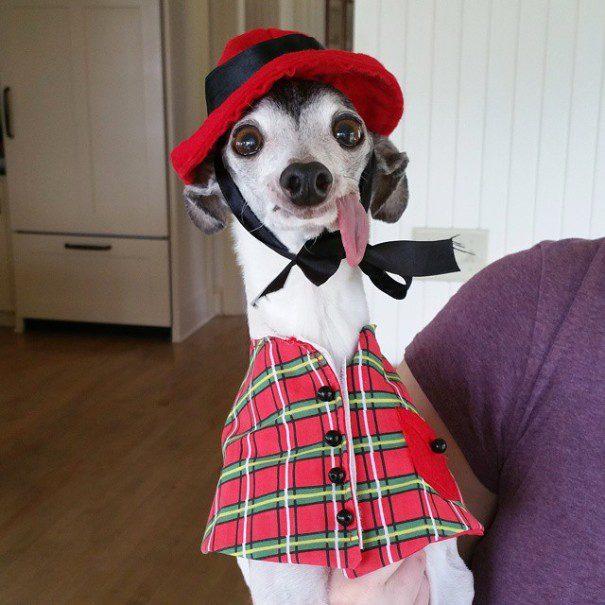 Левретка в шотландском костюме.