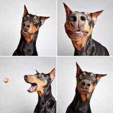 Смешные доберманы (12 фото)