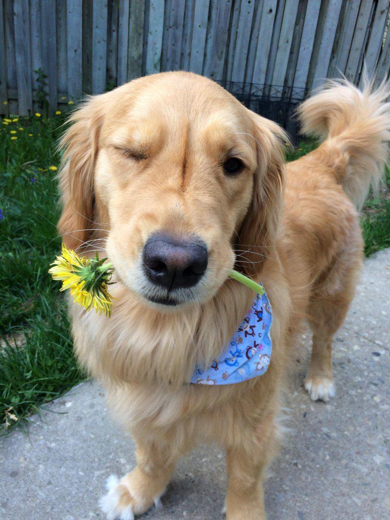 Лабрадор подмигивает и дарит цветок.