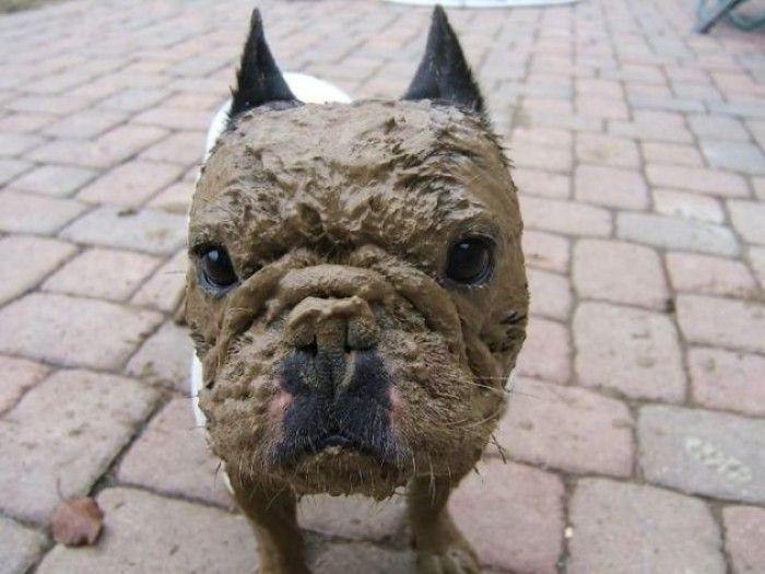 Французский бульдог выпачкался в грязи.