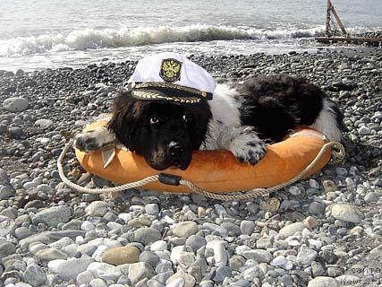 Ньюфаундленд в кепке лежит на спасательном круге.