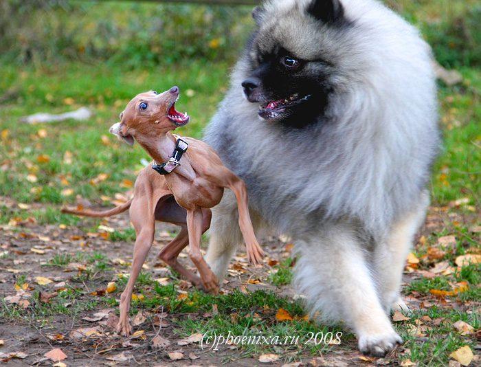 Левретка испугалась большой собаки.