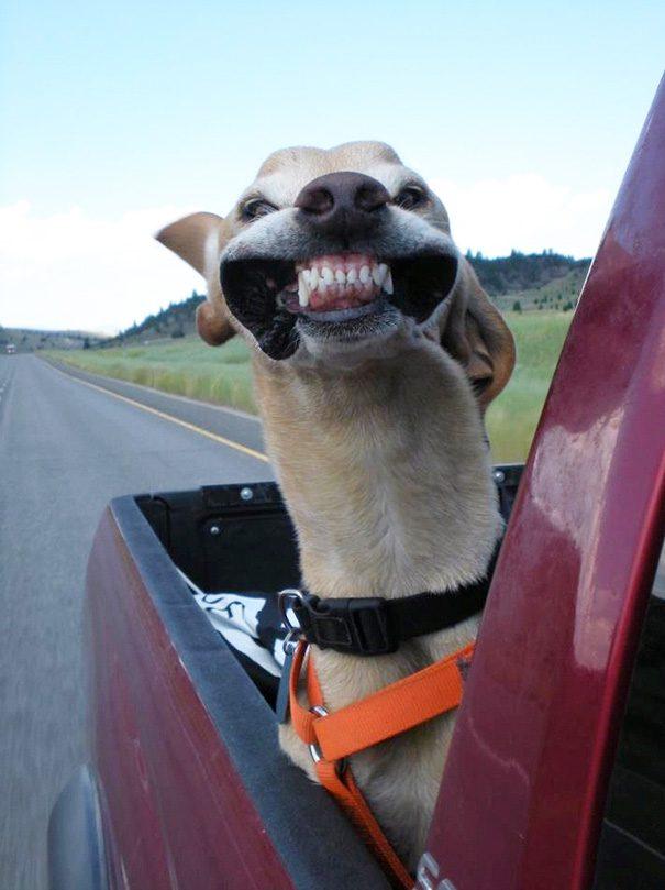 Левретка едет в автомобиле.