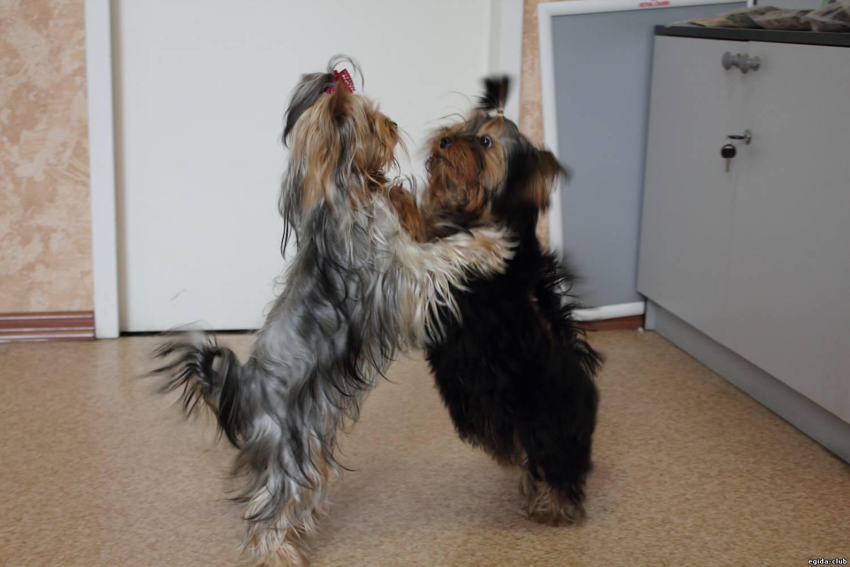 Йоркширские терьеры танцуют.