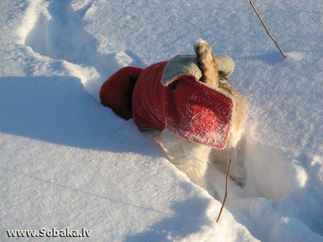 Фокстерьер роется в снегу.