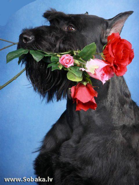 Ризеншнауцер дарит цветы.