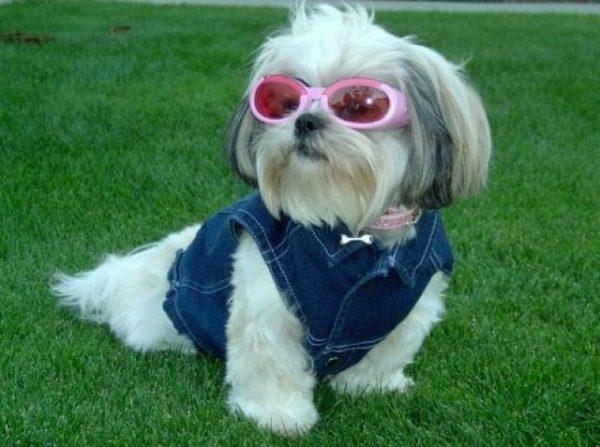 Ши-тцу в комбинезоне и солнечных очках.