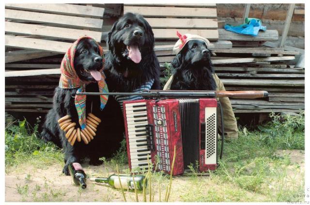 Ньюфаундленд в народном ансамбле играют на гармошке.