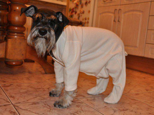 Цвергшнауцер в пижаме.