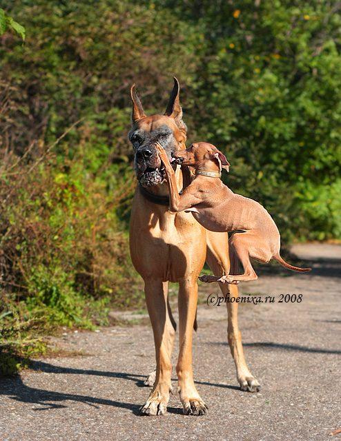 Левретка пытается поцеловать собаку.