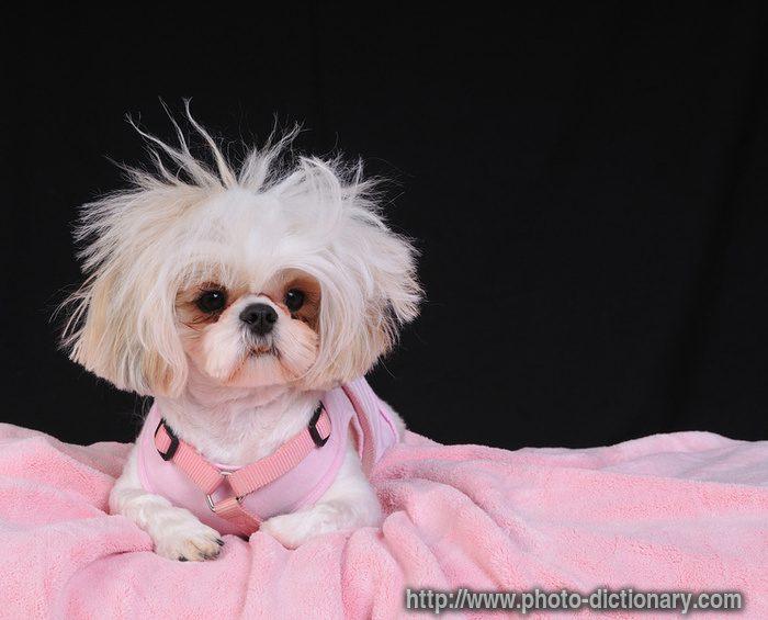Ши-тцу с модной прической на розовом одеяле.
