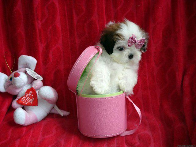 Ши-тцу сидит в розовой кружке.
