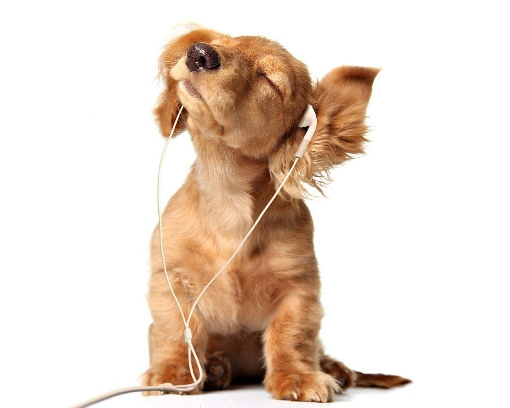 Коккер-спаниель слушает музыку.