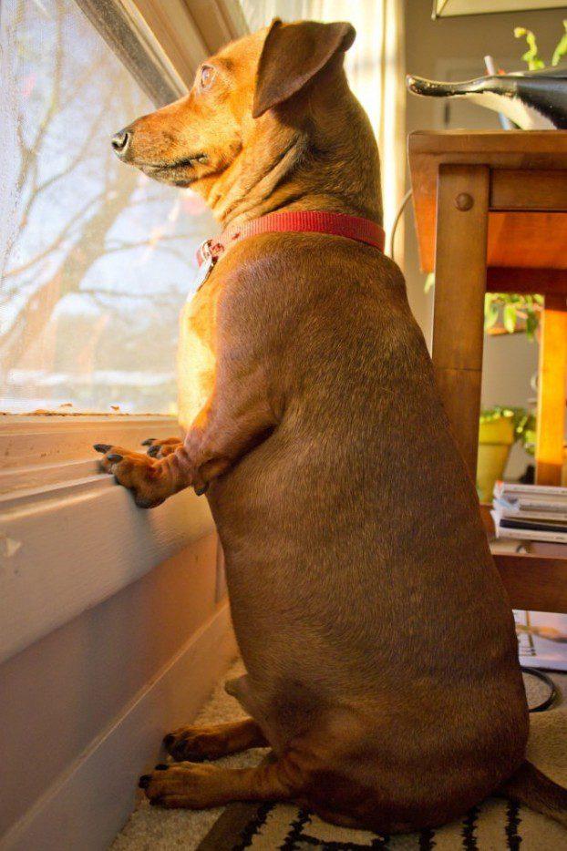 Такса смотрит в окно.
