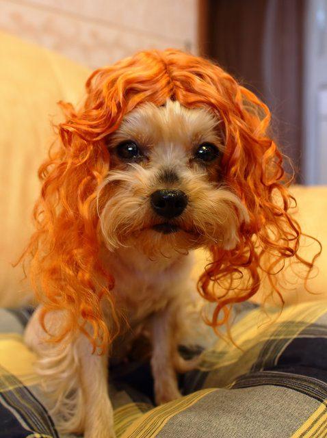 Йоркширский терьер в рыжем парике.