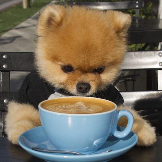 Померанский шпиц пьет утренний кофе.