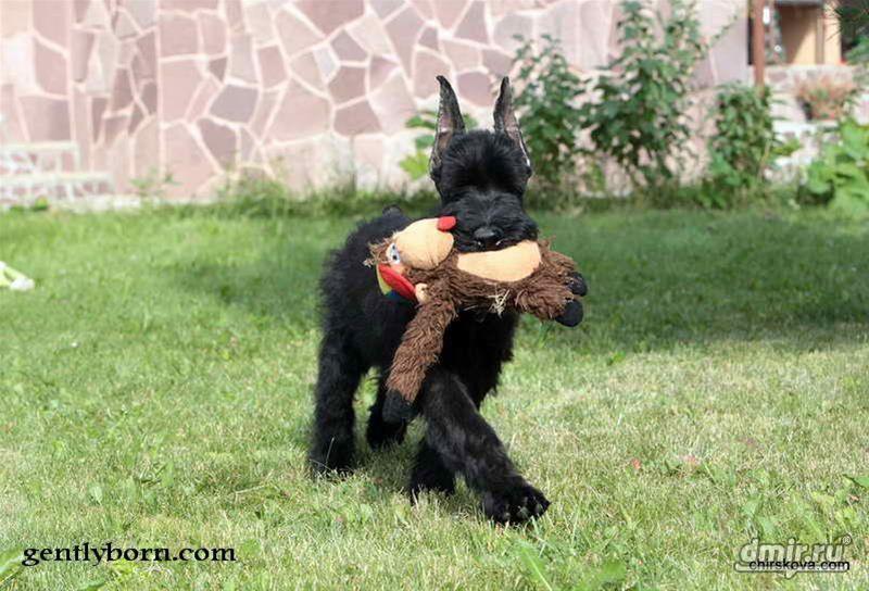 Ризеншнауцер несет свою игрушку.