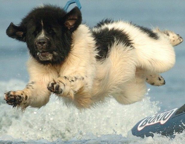 Ньюфаундленд в прыжке.