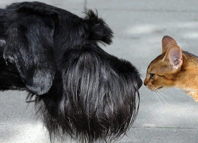 Ризеншнауцер и кот.