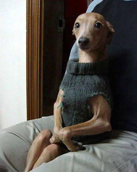 Воспитанная левретка в свитере сидит в кресле.