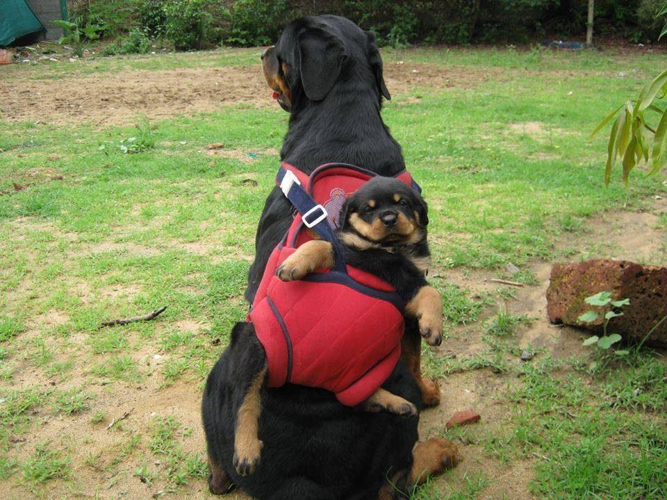 Ротвейлер несет своего щенка на спине в рюкзаке.
