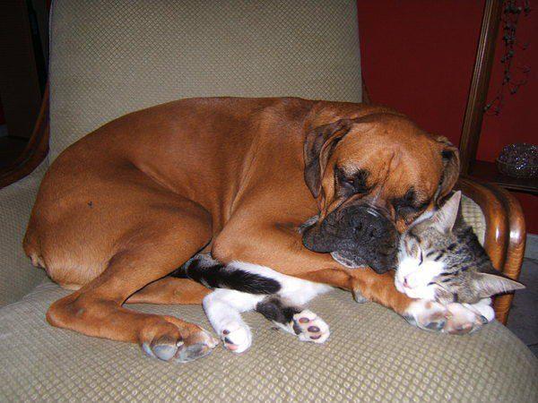 Боксер спит в обнимку с котом.