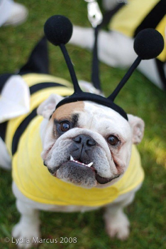 Бульдог в костюме пчелы.